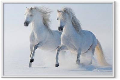Gerahmtes Poster Zwei galoppierende schneeweißen Pferden