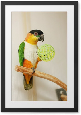 Ingelijste Poster Black-headed Parrot