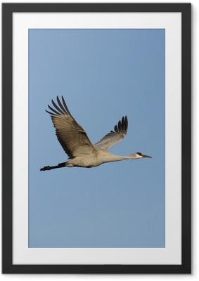 Sandhill crane, Grus canadensis Framed Poster