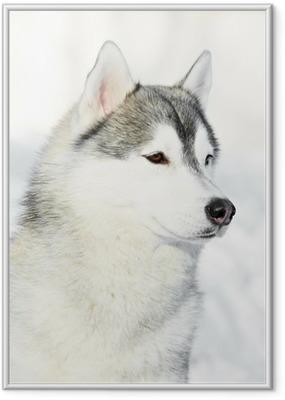 Ingelijste Poster Siberisch schor hondportret bij de winter