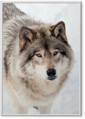 Gerahmtes Poster Grauer Wolf im Schnee Mit Blick auf die Kamera